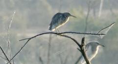 Herons Dungapur