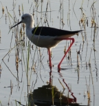 Wader with red legs